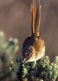 In SO-Brasilien endemisch: Strohschwanzschlüpfer (Schizoeaca moreirae; © J. Ferdinand)